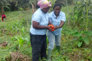 ladies collectiong tomatoes in a farm